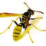 大蜂-Hornet