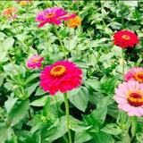 葵lily