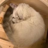 慵懒的猫scc